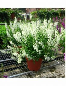 Angelonia-Serena-White-Pot-Sy1