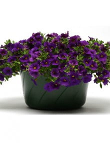 Calibrachoa Kabloom Blue Deep