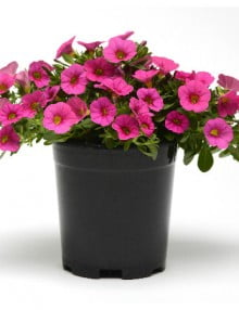 Calibrachoa Kabloom Pink Deep