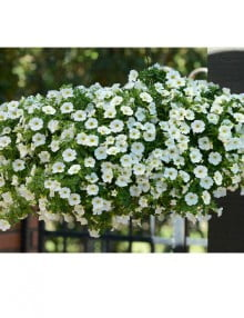 Calibrachoa Kabloom White