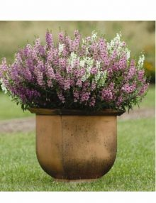 Angelonia-Serena-Mix-Pot.jpg