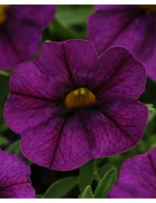 Calibrachoa Deep Blue