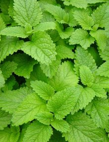 Lemon Balm Leaf SC