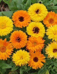 Pot Marigold Mix SC