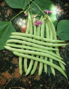 106-pole-bean---summer