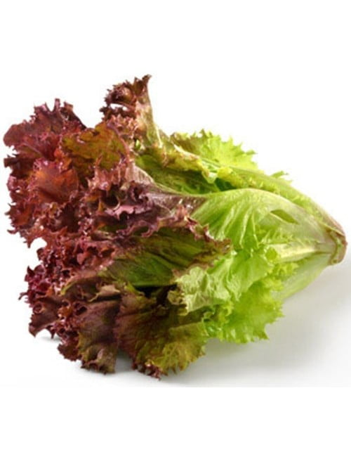 21-red-lettuce—fire-red