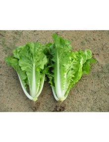 24-chinese-cabbage---ong-king