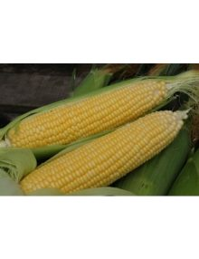 301-sweet-corn---honeymoon