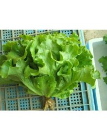 4-lettuce-looseleaf