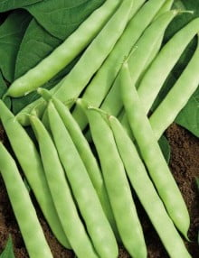 SC 111 French Bean - Creamy (2)