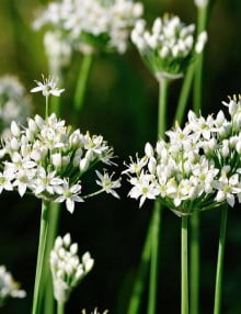 Allium tuberosum garlic chives (3) SC