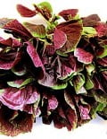 Amaranthus Red Calaloo 2