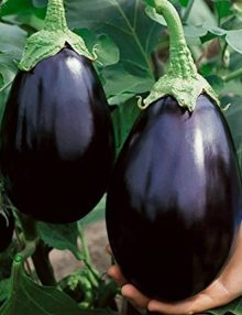Eggplant Black Beauty SC