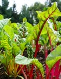 Swiss chard mixed SC 2