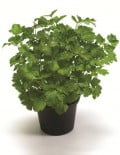 Italian Giant Parsley SC