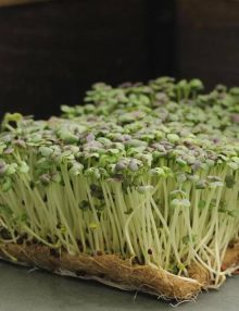 Osaka purple Microgreens SC