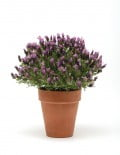 Bandera Purple Lavandula Lavender