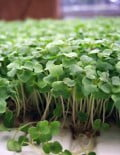 Eruca Sativa Pronto Microgreen