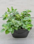 Greek Oregano SC