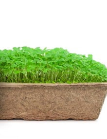 Lemon Balm Microgreen SC