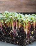 Swiss chard mixed Microgreen SC