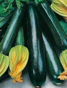 Zucchini Black Beauty SC 2