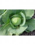 306-cabbage---giant--2-