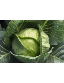 306-cabbage---giant