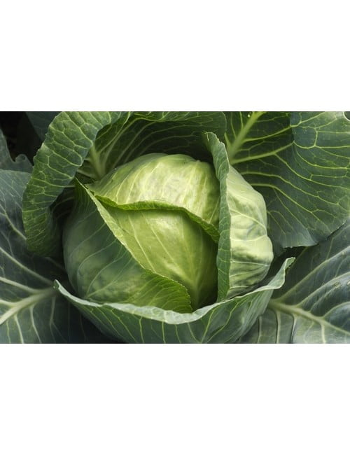 306-cabbage—giant