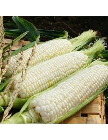 329-white-sweet-corn---quicksi (1)