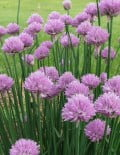 Chives Fine Leaved Plant SC