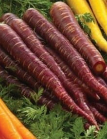 Carrot Purple SC