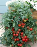 Tomato Tumbling Tom Red SC