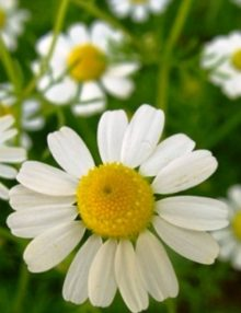 German Chamomile 2