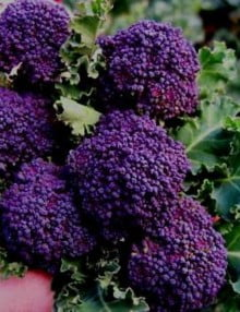 Broccoli Edibliss Summer Purple