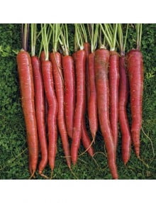 carrot-malbec-red