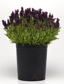 Bandera Deep Purple Pot