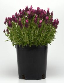 Bandera Deep Rose Pot