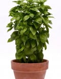 Basil Everleaf Emerald Towers_SC