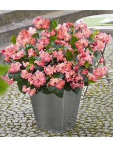 begonia-big-green-leef-pink_SC