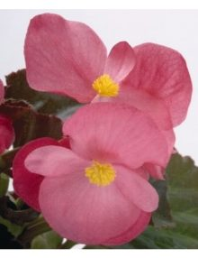 begonia-big-rose-green-Leaf_SC