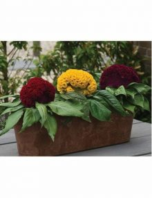 Concertina Red Green Leaf, Yellow, Purple Celosia Color Code: PAS Kieft 2020Container in setting , Seed06.20.18  Venhuizen, Mark WidhalmConcertinaFeature_02.JPGCEL18-24370_AL.JPG