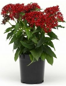 Lucky Star Dark Red Pentas Color Code: 200c PAS Kieft 2018 Quart Pot On Sweep, Seed 08.02.16 Santa Paula, Mark Widhalm LuckyStarDarkRed01_02.JPG PEN16-21648.JPG