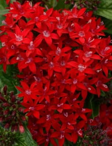 Lucky Star Dark Red Pentas 
