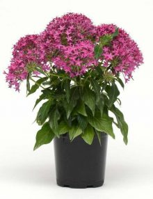 Lucky Star Violet Pentas Color Code: 247c PAS Kieft 2018 Pot On Sweep, Seed, Seeds were sown WK15 so the time of this photo material is 16 weeks old.  08.02.16 Santa Paula, Wk 31, Mark Widhalm LuckyStarViolet01_02.JPG PEN16-21655.JPG