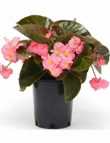 Megawatt Pink Bronze Leaf Begonia Color Code:  PAS Kieft 2017 Pot On Sweep, Seed 08.15 Santa Paula, Mark Widhalm BombardierPinkBronze01_02.JPG BEG15-19617.JPG