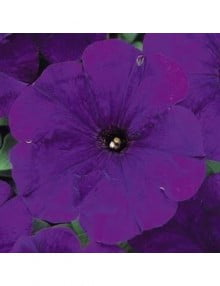 petunia-carpet-blue_SC