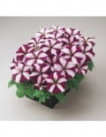 petunia-mirage-burgundy-star_SC