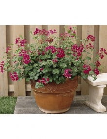 summer-showers-fuchsia-pot_SC