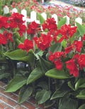 Canna-tropical-red-garden_SC
